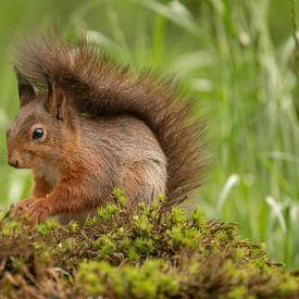 Écureuil, queue sur le dos sur Tanja van Beuningen
