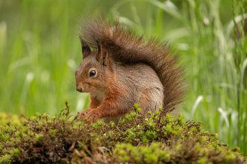 Écureuil, queue sur le dos