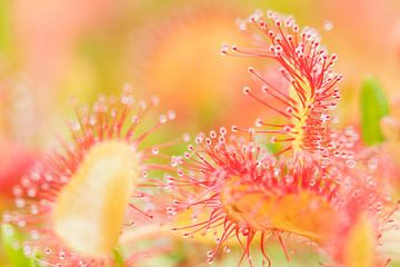 Blumen und Pflanzen | Nahaufnahme von Sonnentau von Servan Ott