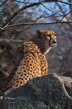Een hongerige gevlekte cheetah zit in een hinderlaag met zijn slagtanden druipend speeksel, hij wil  van Michael Semenov