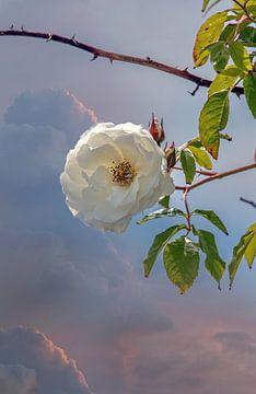 Rose sauvage sur Lisette van Peenen