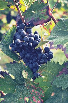 Blauwe druiven van C. Nass