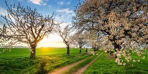 Cherrie Tree