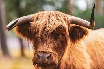 Schotse Hooglanders in het Veluwse natuurgebied van Sjoerd van der Wal