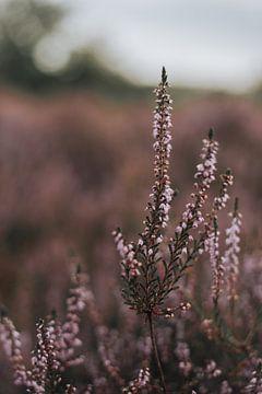 Im stillen Kempen, auf der violetten Heide von Julie Roothooft