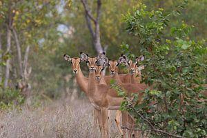 Antilopen (Zuid Afrika) van Anton van Beek