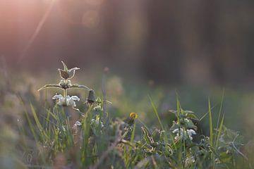 zonnig onkruid van Tania Perneel