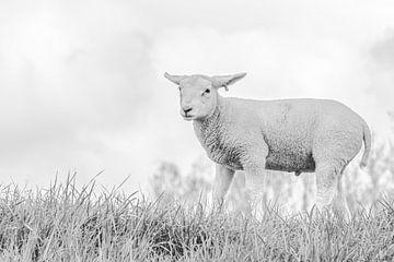 Lamm auf der Wiese von Rosina Vermaas