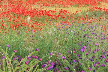 Colorfull Field van Cornelis (Cees) Cornelissen