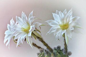 Kaktus von Dieter Beselt