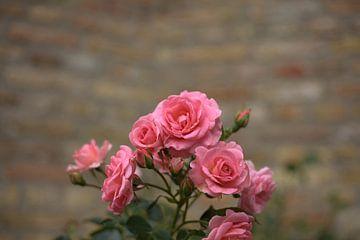 roses roses, fleur rose sur harm Henstra