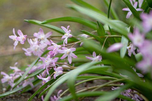 Roze lente van