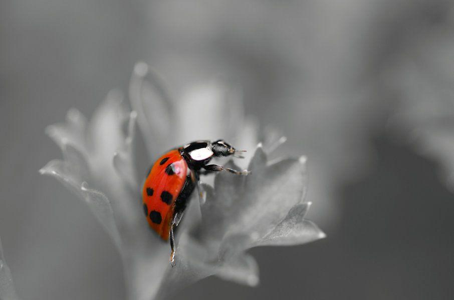 Zwartwit en rood, Lieveheersbeestje Macrofotografie