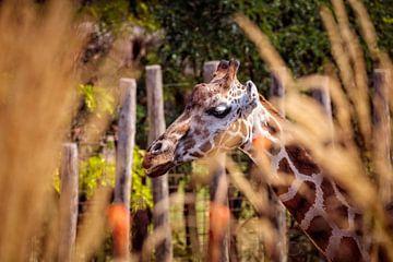 Giraffe van Rob Boon