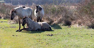 Konik Pferde ... von Bert - Photostreamkatwijk