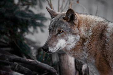 tête de loup noir mâle en gros plan, yeux lumineux et brûlants. sur Michael Semenov