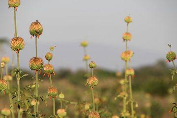 Feld voller Blumenzwiebeln von Marije Zwart