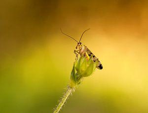 Macro opname van een schorpioenvlieg  op een  uitgebloeide bloem