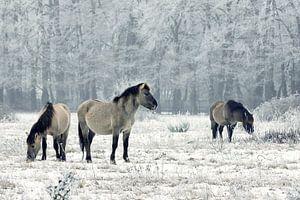 Wilde paarden in de winter