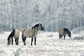 Wilde paarden in de winter sur Elly Besselink