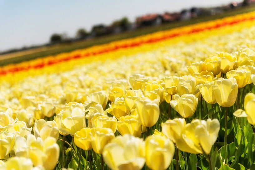 Tulpenveld in Noord-Holland van Keesnan Dogger Fotografie