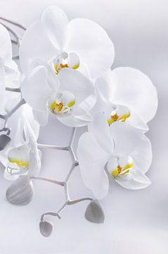 Orchidee von Violetta Honkisz