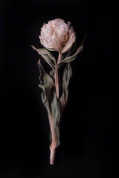 Getrocknete doppelte weiße Tulpe von Karel Ham