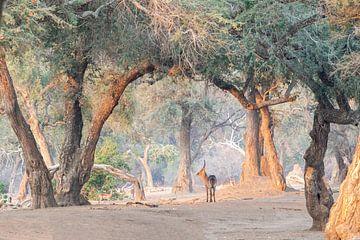 Wasserbock im Wald von Anja Brouwer Fotografie