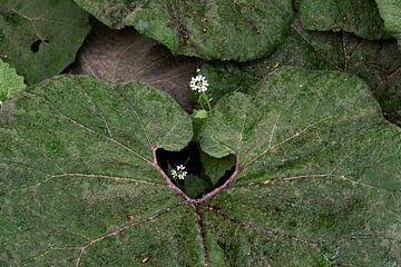 Großer Huflattich von Affect Fotografie