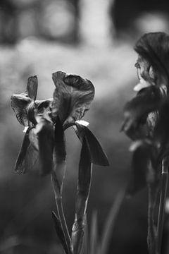 Iris in Black & White von Steffi Hommel