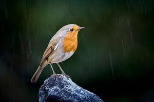 Roodborst in de regen
