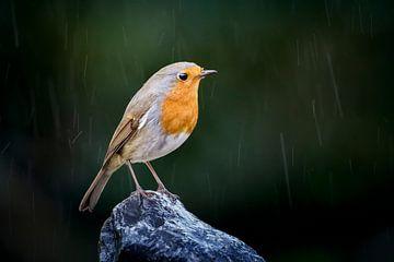 Roodborst in de regen sur Misja Kleefman