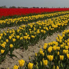 Bloembollenteelt (tulpen) bij de Friese Waddenzeedijk van Meindert van Dijk
