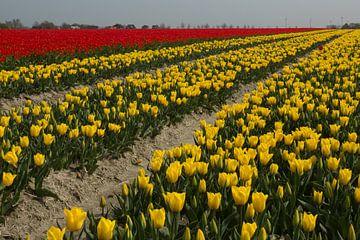 Bloembollenteelt (tulpen) bij de Friese Waddenzeedijk van