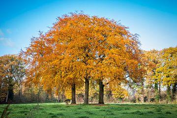 drei Buchenbäume in schönen Herbstfarben von Marcel Bakker