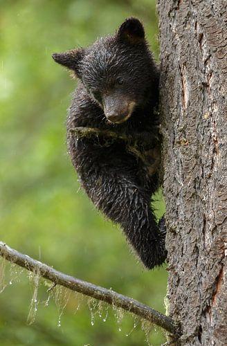 Klimmende zwarte beer jong van