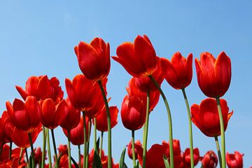 Tulpen sur Elly Damen
