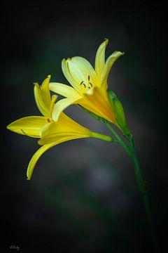 Gele daglelies (Daglelie)