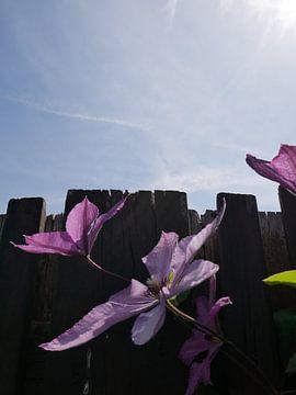 Bloemen tegen houten schutting en blauwe lucht van Birdy May