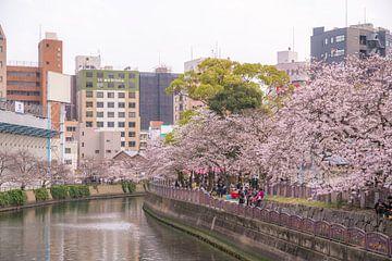 Kirschblüten entlang eines Flusses von Mickéle Godderis