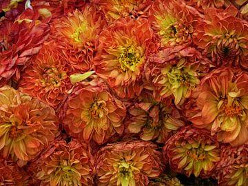 Chrysanthemum sur Yvonne Blokland