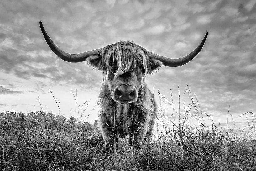 Schotse Hooglander op Jiltdijksheide te Opende van Martijn van Dellen