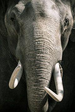 Elefant mit den Stoßzähnen, die direkt der Kamera betrachten von Sjoerd van der Wal