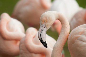 Flamingo van John van Weenen