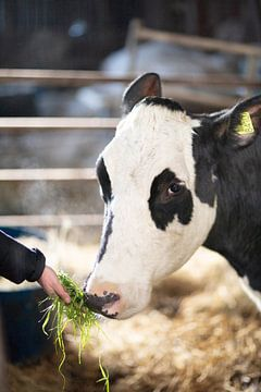 Kuh Vera 326 von Janine Bekker Photography