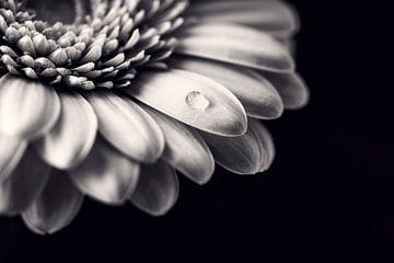 gerbera in zwart/wit van Kristof Ven