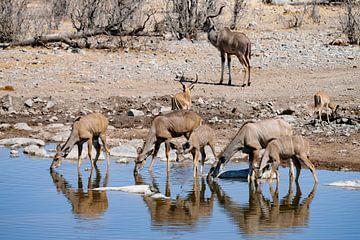 trinkende Kudu-Antilopen von Merijn Loch