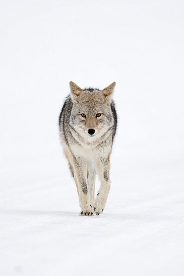 Coyote ( Canis latrans ) in winter, frontal shot