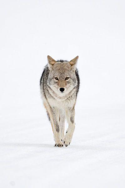 Coyote ( Canis latrans ) in winter, frontal shot van wunderbare Erde