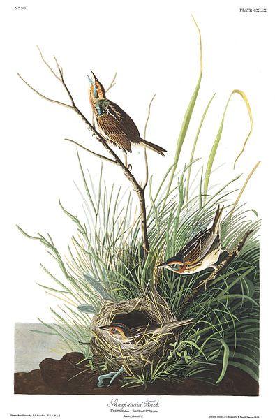 Spitsstaartgors van Birds of America